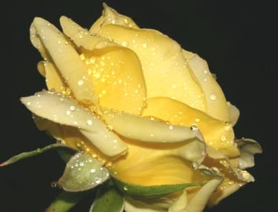 <em>Diario de una rosa...</em>