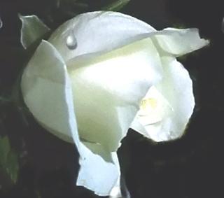 <em>La rosa...</em>